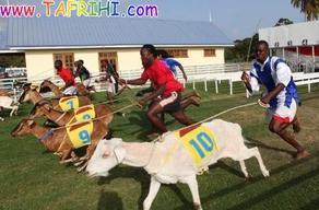 مسابقات سالانه بز دوانی در جزایر توباگو